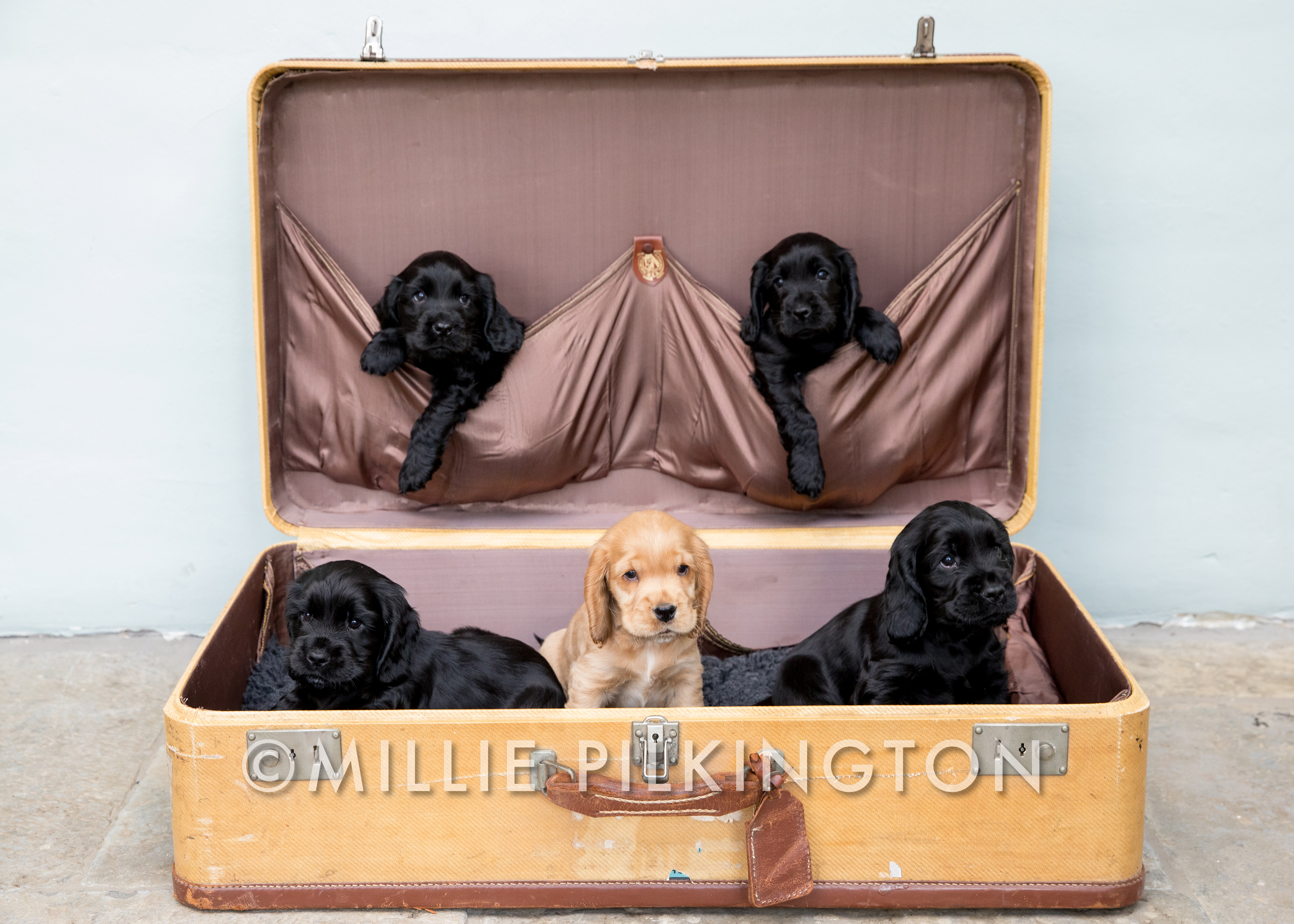 puppies in a suitcase